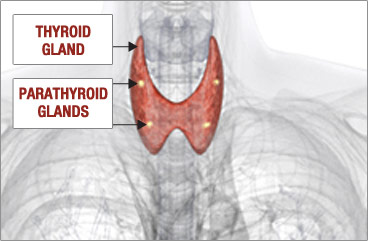 Healthy Parathyroid Glands
